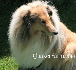 Danny, one of our Collies filmed for Animal Planet, 100% European bloodlines