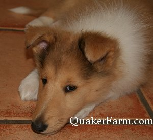 Quaker Farm Collie puppy