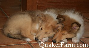 sleeping collie puppies at Quaker Farm