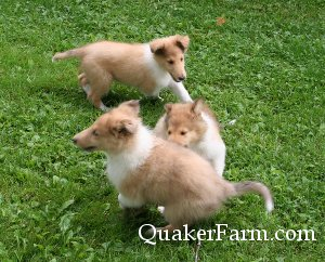 Playing collie puppies at Quaker Farm