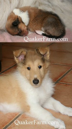 Collie puppy at Quaker Farm, Little Lassie, faithful collie and fun family friend