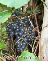Quaker Farm Grapes
