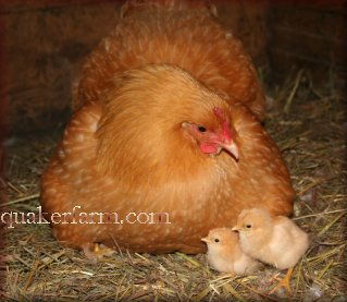 Buff Orpington Chickens, Michigan